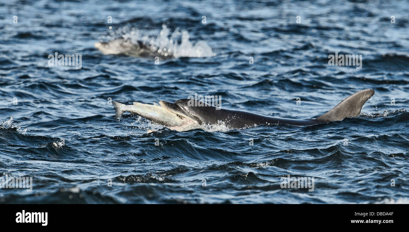 Bottlenose dolphin about to swallow a salmon. - Stock Image