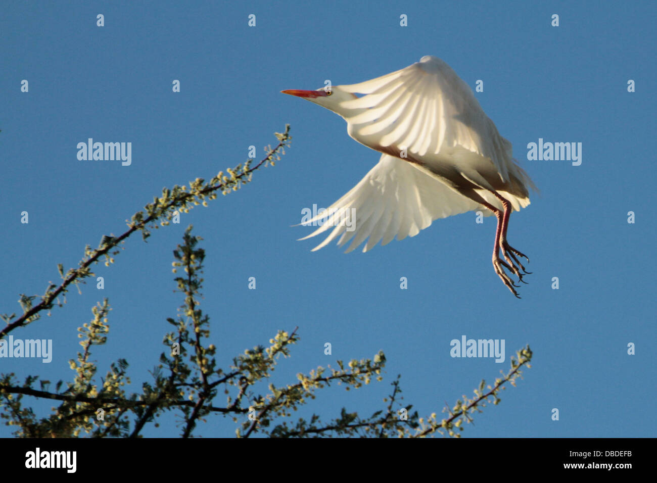 Cattle Egret coming in to land - Stock Image