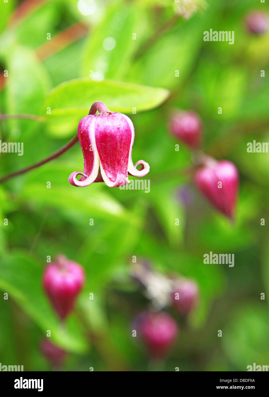 The Pink And White Bell Shaped Flowers Of Clematis Viorna At Stock