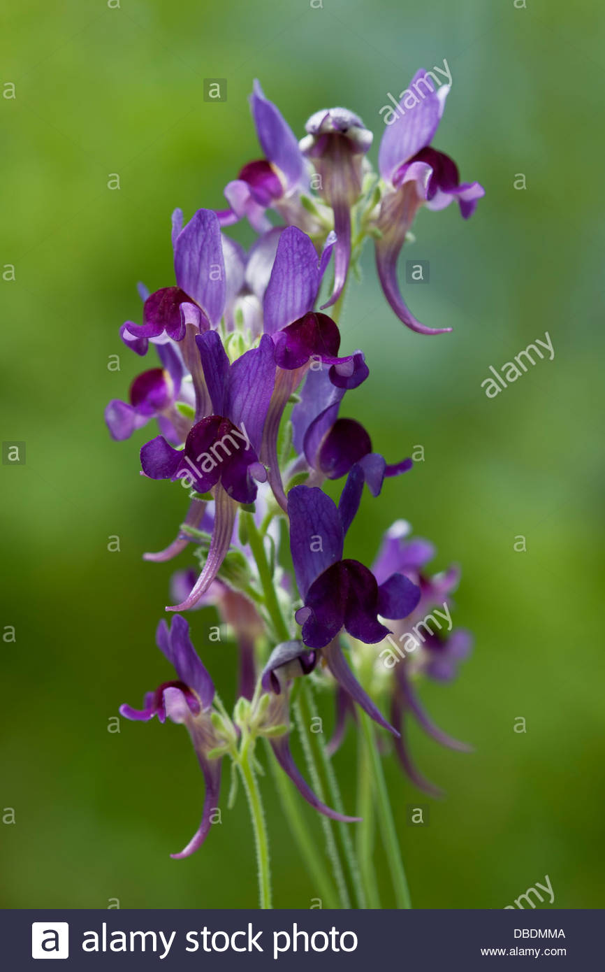 roadside toadflax Linaria aeruginea Lindeza Violet flower flowers summer July violet purple perennial garden plant - Stock Image