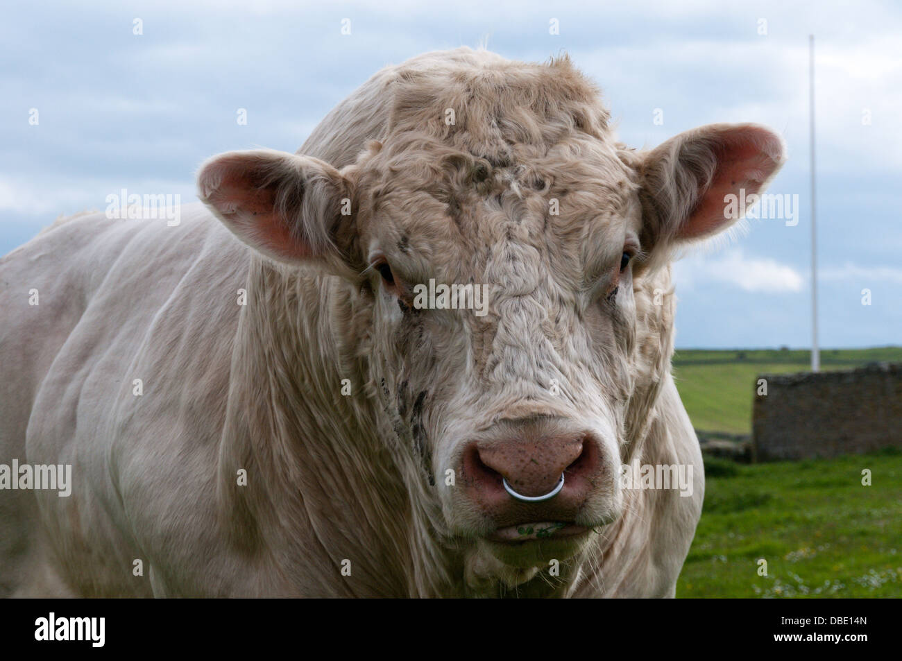 Bull Ring Nose Stock Photos Bull Ring Nose Stock Images Alamy