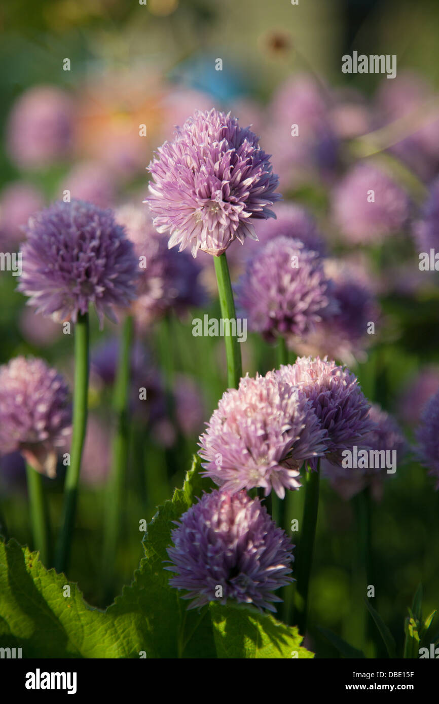 Flowering chives alliums schoenoprasum - Stock Image