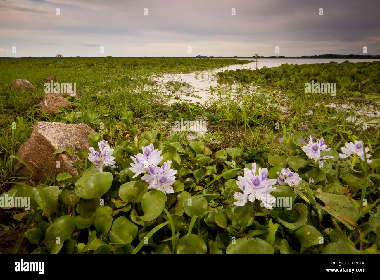 Lily flowers in the wetlands Refugio de vida Silvestre Cienaga las Macanas Nature Reserve, Herrera province, Republic Stock Photo