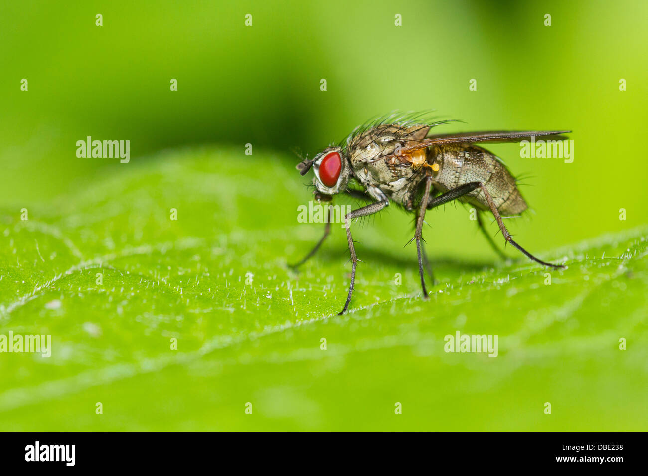 Tachinid fly perched on a green leaf. Stock Photo