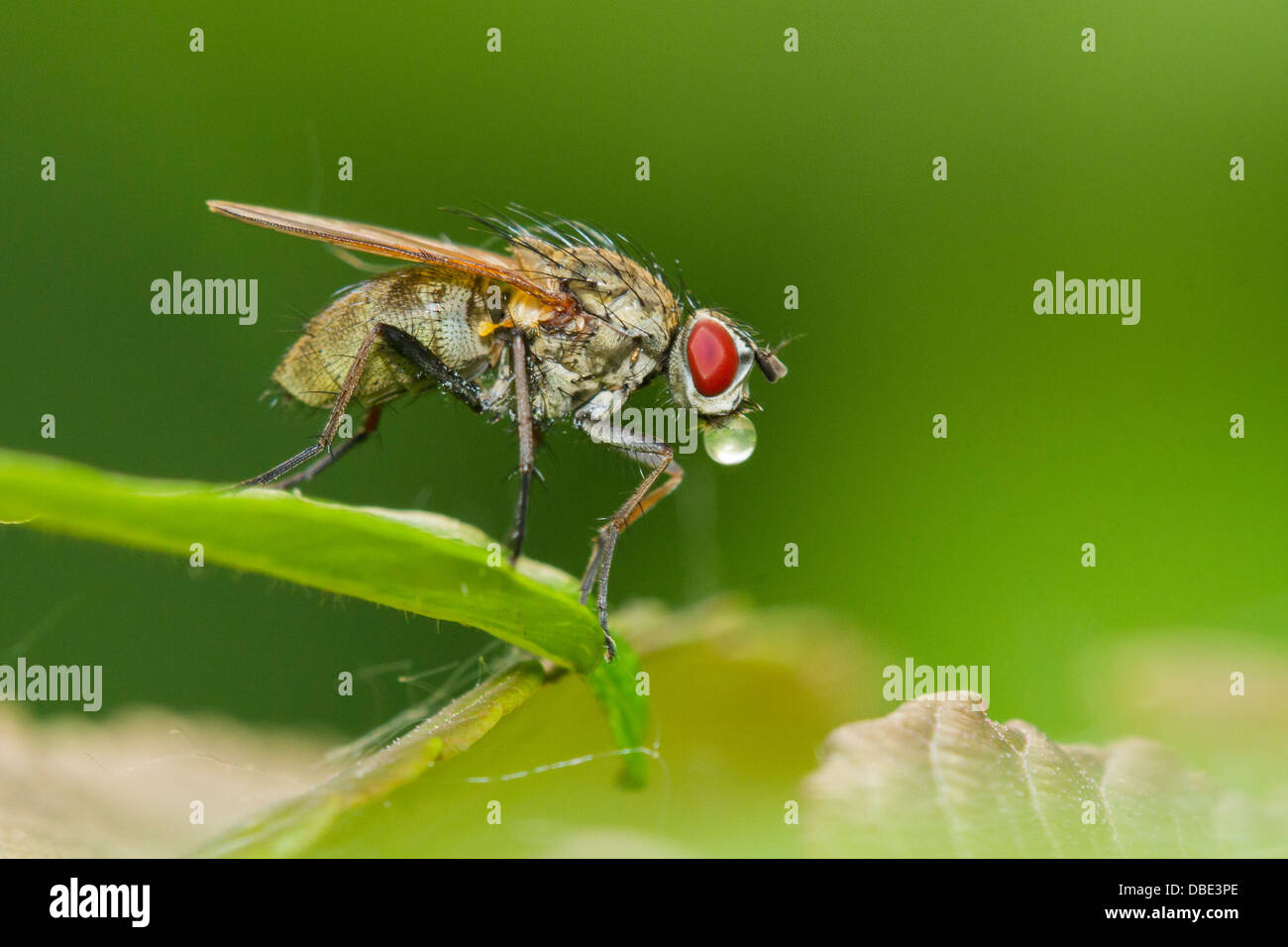 Tachinid fly perched on a green leaf, making bubbles. Stock Photo