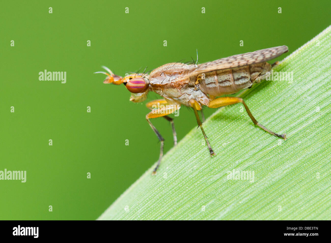 Deer fly perched on a green leaf. Stock Photo