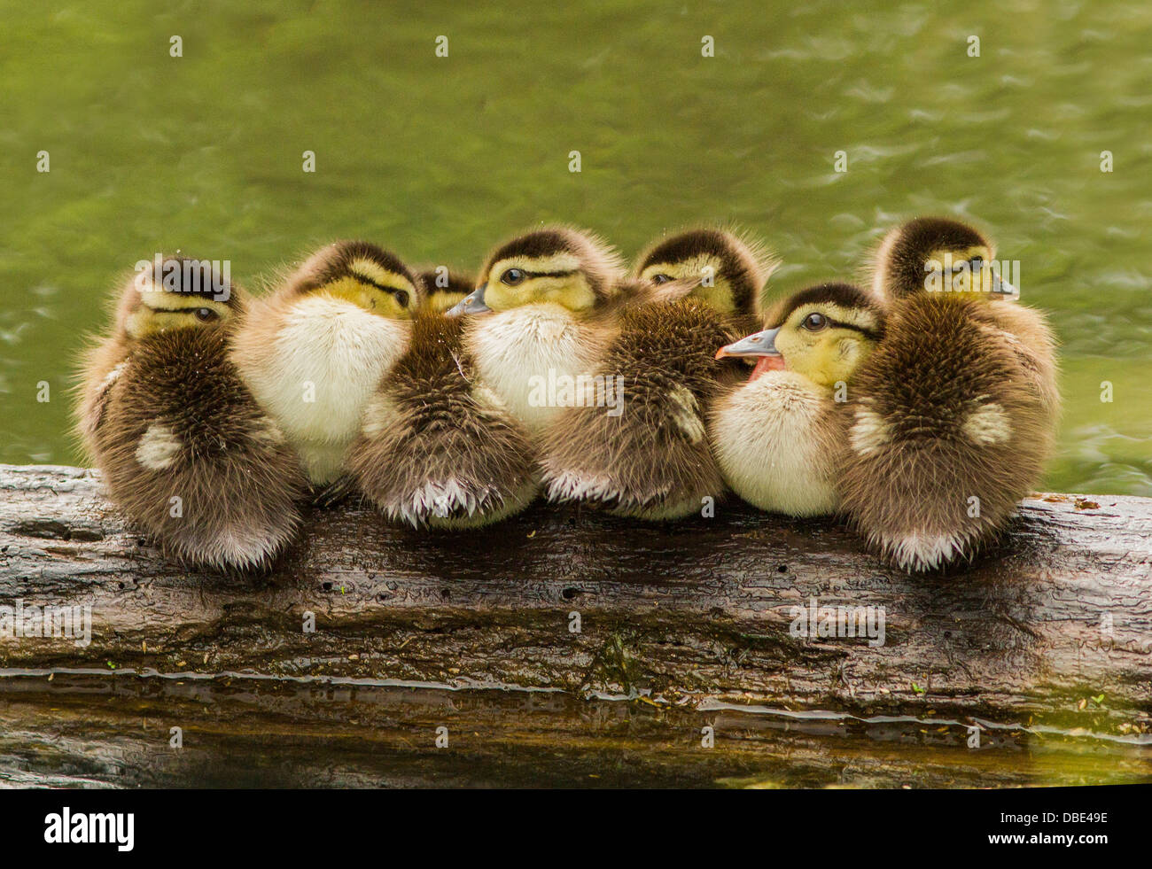 new style 324a9 09b7b Seven wood duck or Carolina duck ducklings in early spring ...