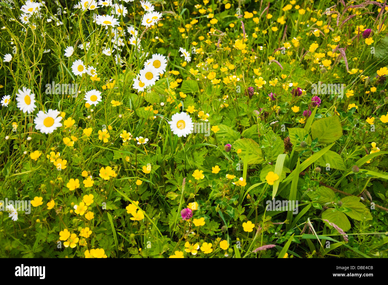 Wild Flowers In Ireland Stock Photos Wild Flowers In Ireland Stock