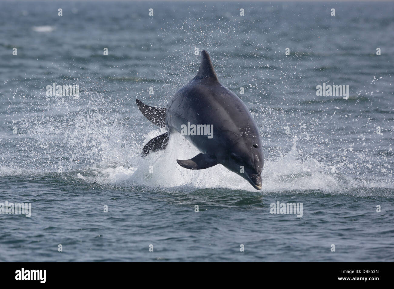 One Bottle-nosed Dolphin leaping out of the water at Chanonry Point - Stock Image