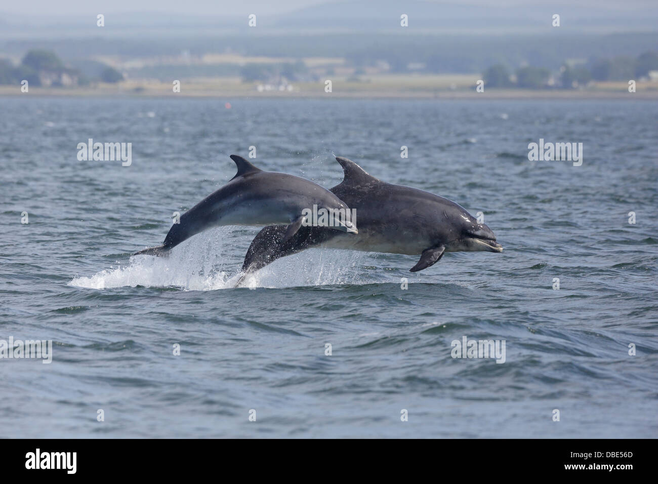 Two Bottle-nosed Dolphins leaping out of the water at Chanonry Point - Stock Image