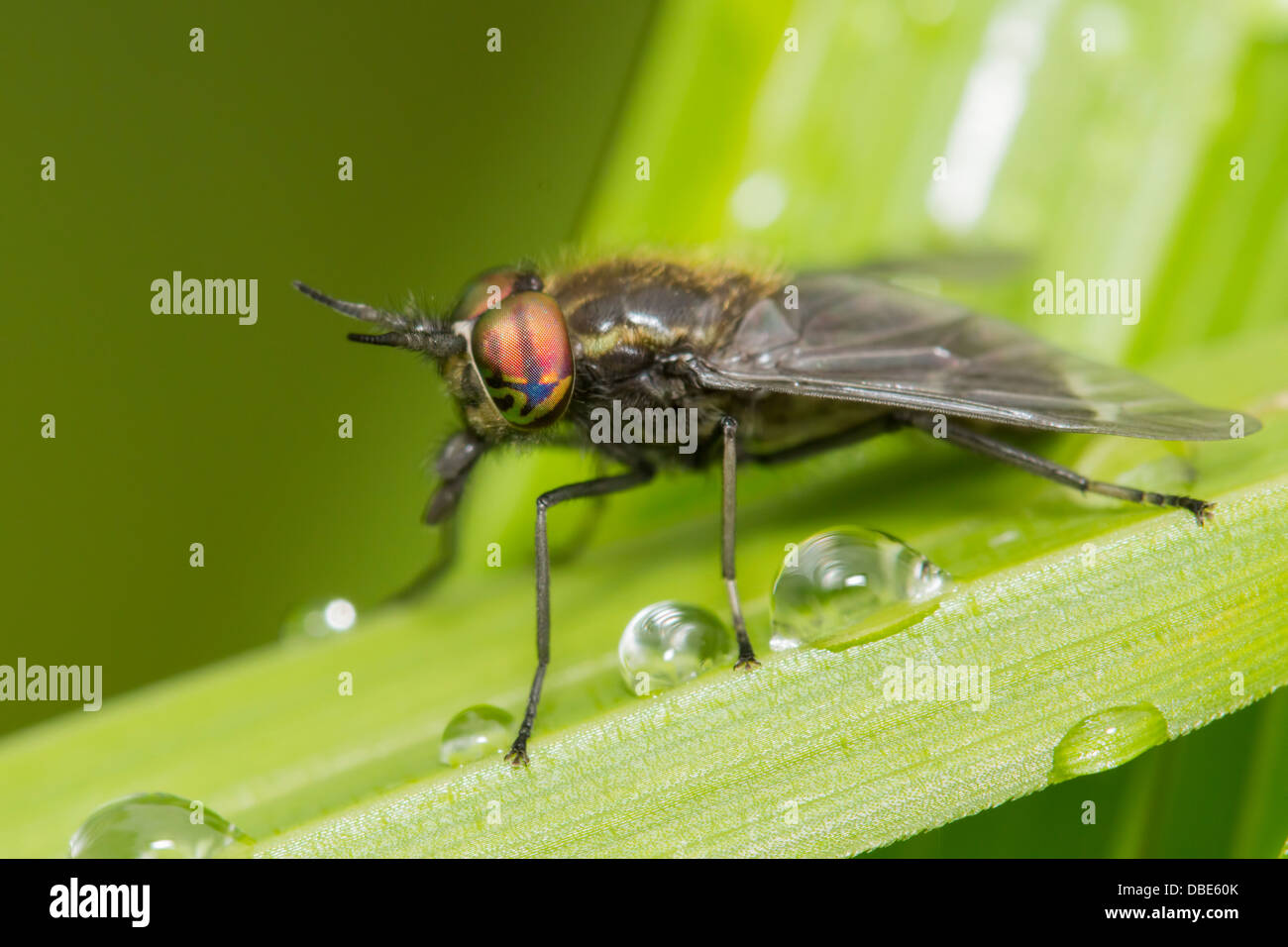 Deer fly perched on a green leaf full of dew Stock Photo