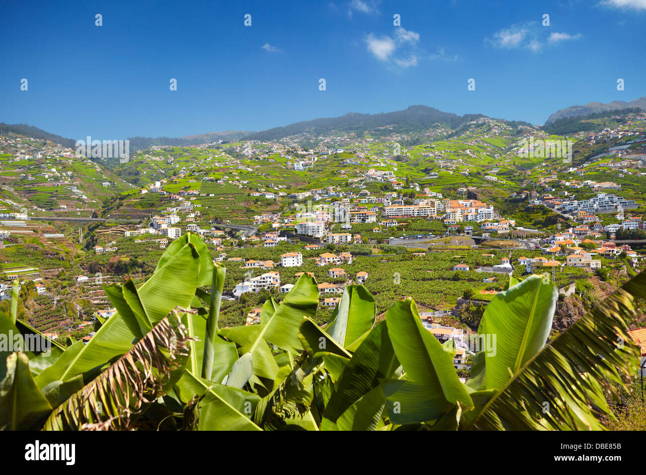 Banana plants cultivation - Camara de Lobos, Madeira Island, Portugal - Stock Image
