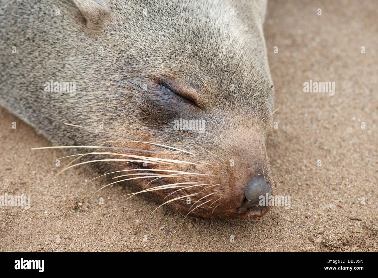Cape cross seal colony skeleton coast namibia africa - Stock Image