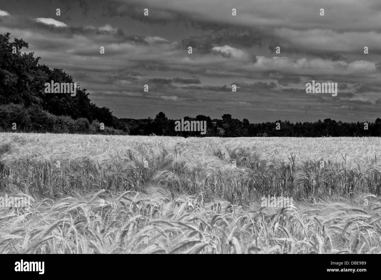 A field of barley the A135 to Thetford, Norfolk. England. (Black and white) - Stock Image
