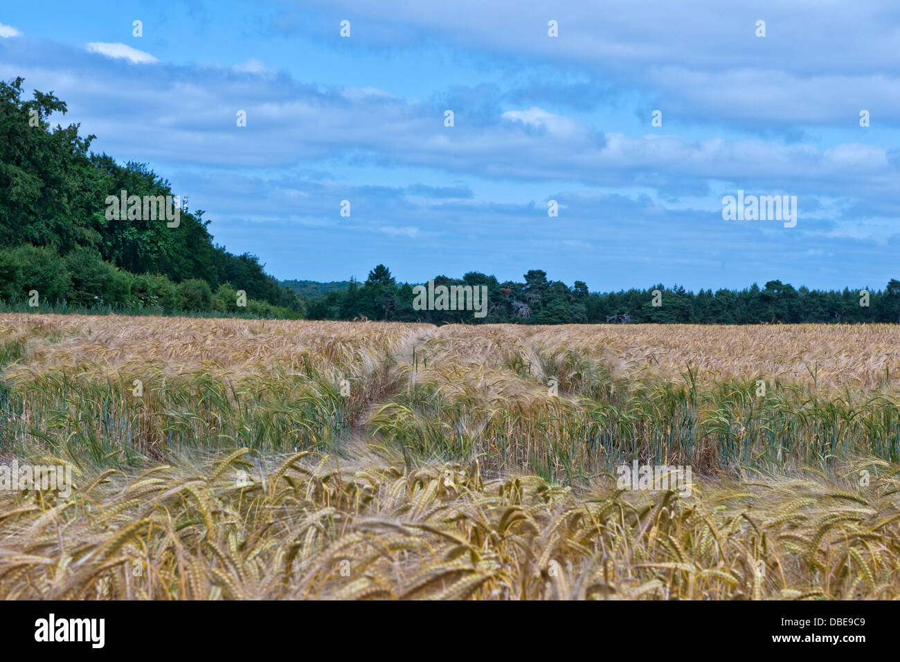 A field of barley the A135 to Thetford, Norfolk. England. - Stock Image