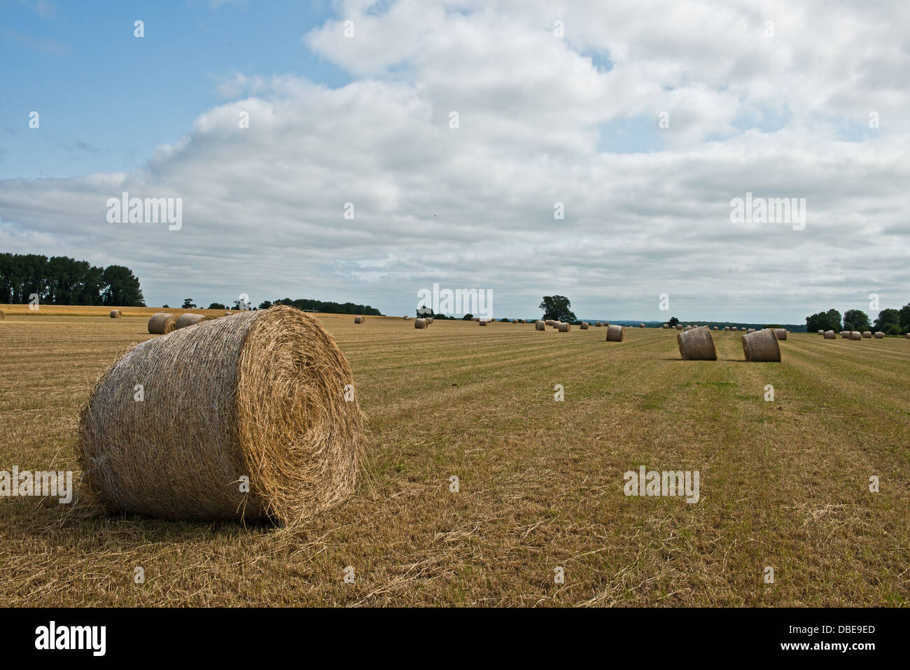 A Field Of Hay Bales On The A135, Thetford Road. Norfolk. England - Stock Image