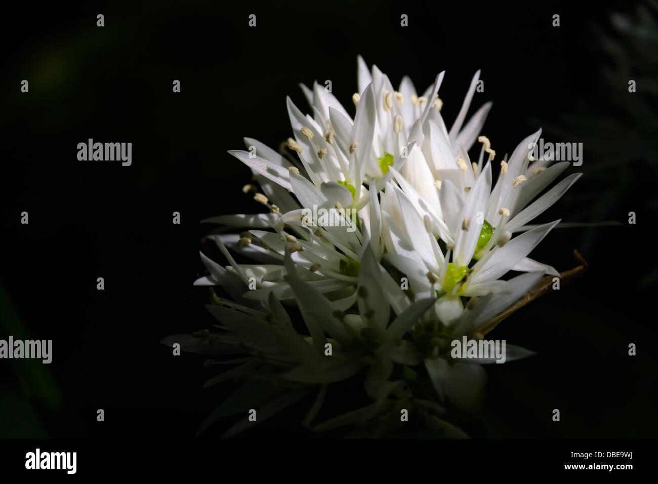 Sunlit white star shaped flowers Stock Photo