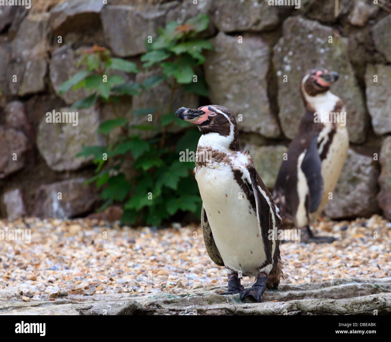 Penguins at Chester Zoo - Stock Image