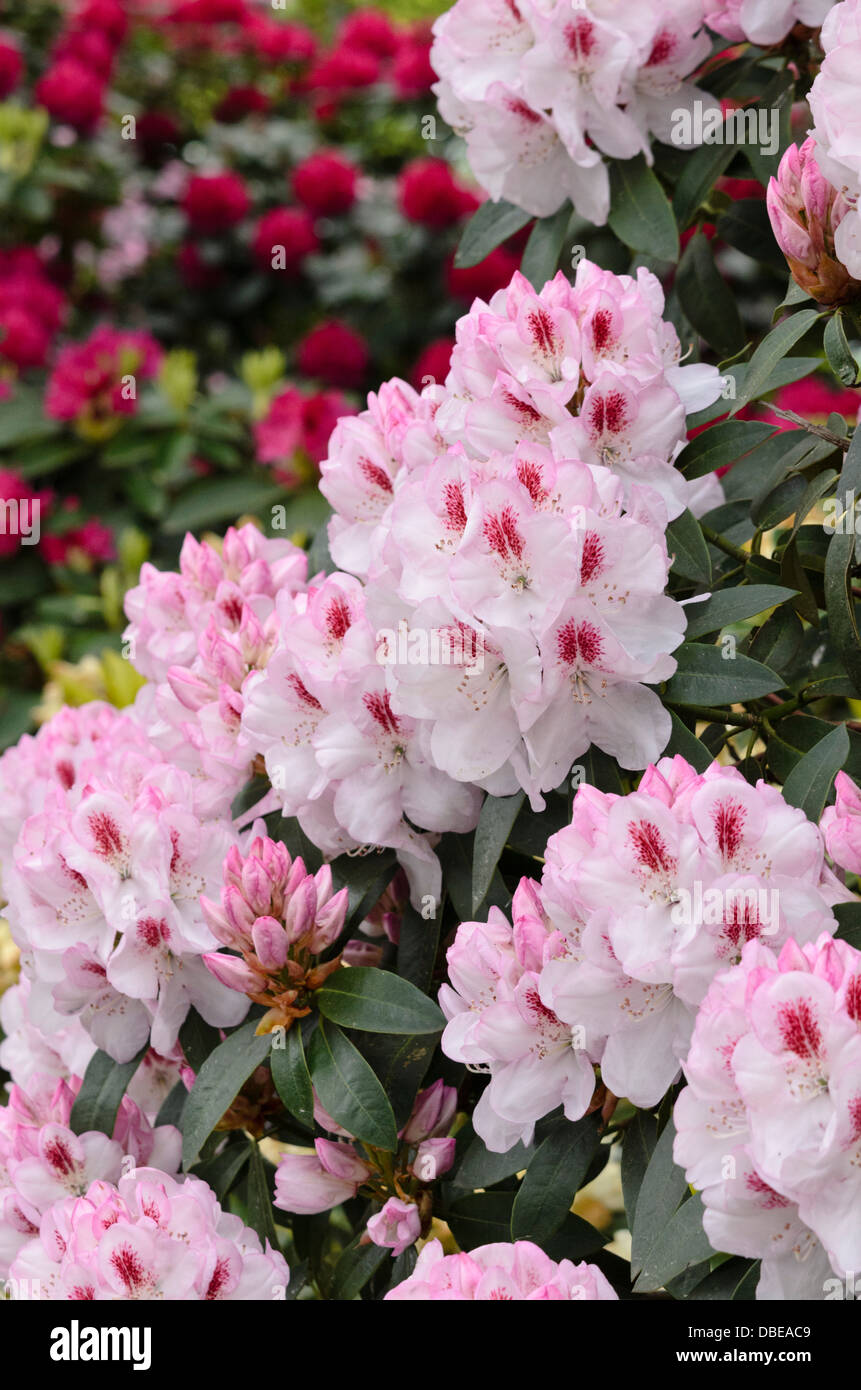 Large-flowered rhododendron hybrid (Rhododendron Lady de Rothschild) - Stock Image