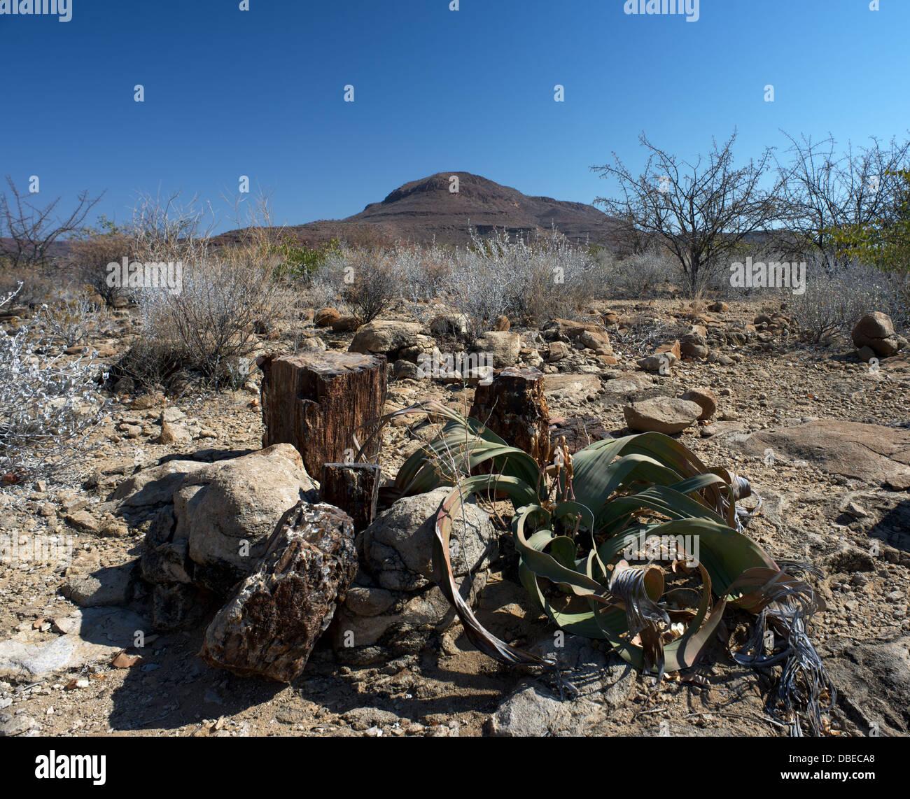 Petrified forest Welwitschia Damaraland Namibia Africa - Stock Image