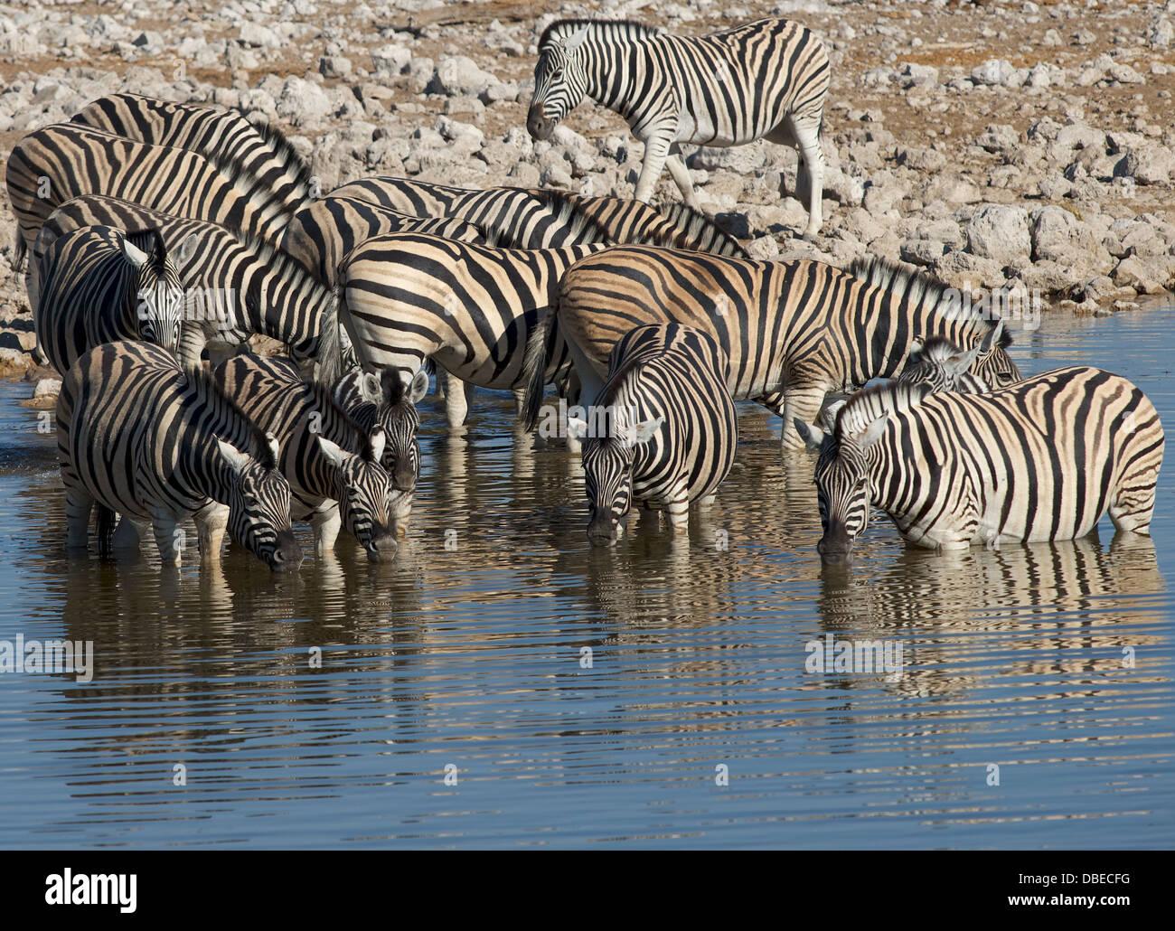 burchell's  Zebra drinking from watering hole in Okaukuejo Etosha National park Namibia Africa - Stock Image
