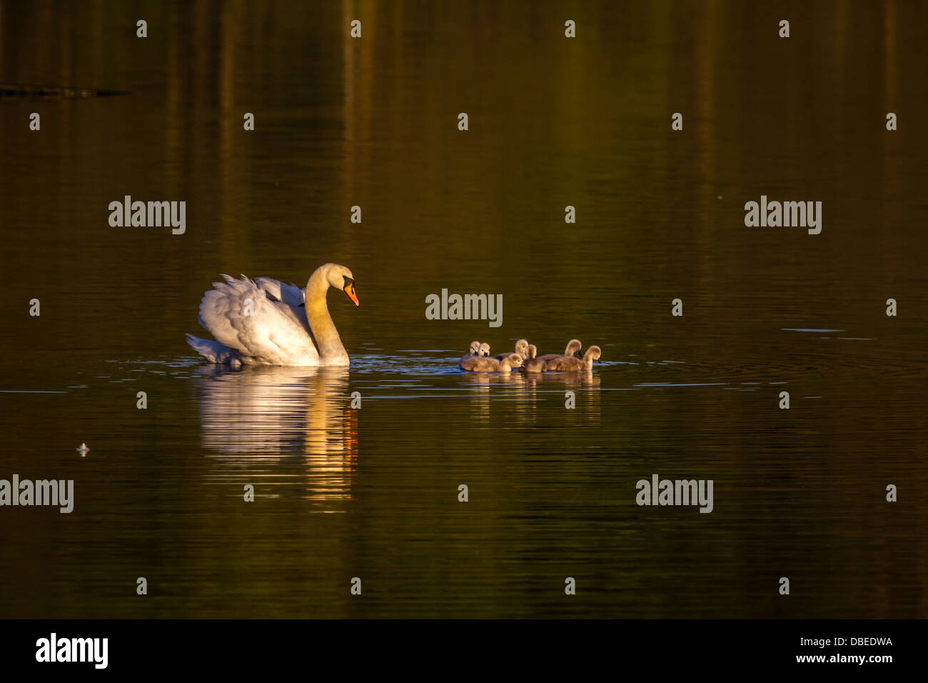 Swan with her cygnets in the early morning light, UK - Stock Image