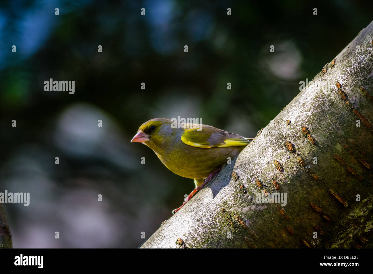 Greenfinch on a branch in the sunlight, Yorkshire, UK - Stock Image