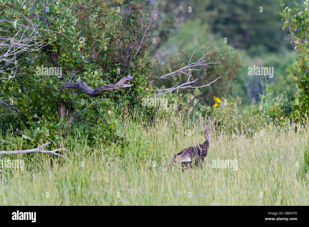 Wild turkey with little chicks in the field. - Stock Image