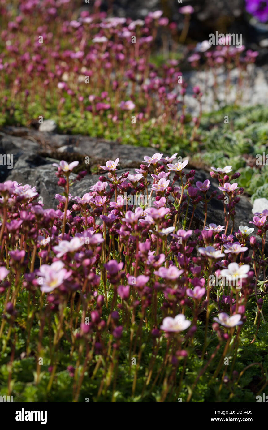 Saxifrage Pink Alpine Flowers Stock Photo 58725109 Alamy