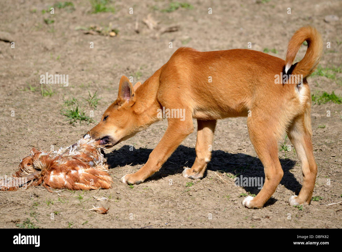 Young dingo (Canis lupus dingo) eating poultry - Stock Image