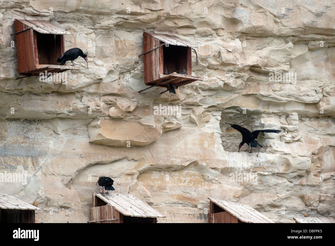 Endangered bald ibis, Geronticus eremita, rehabilitation and breeding center Gaziantep Turkey - Stock Image