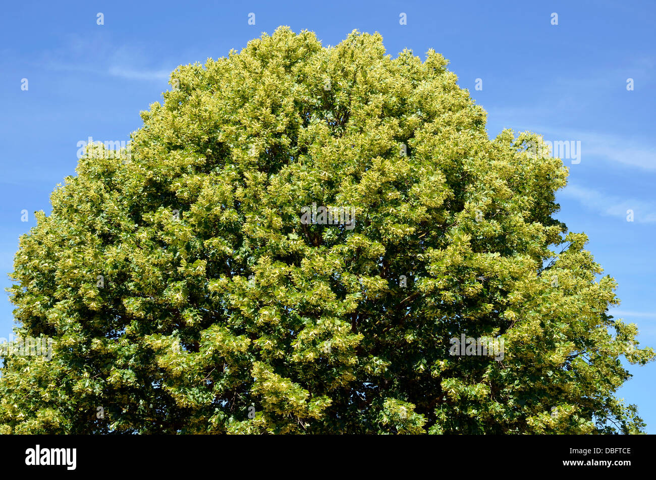 Closeup To The Foliage Of A Tilia Tree On Blue Sky Background