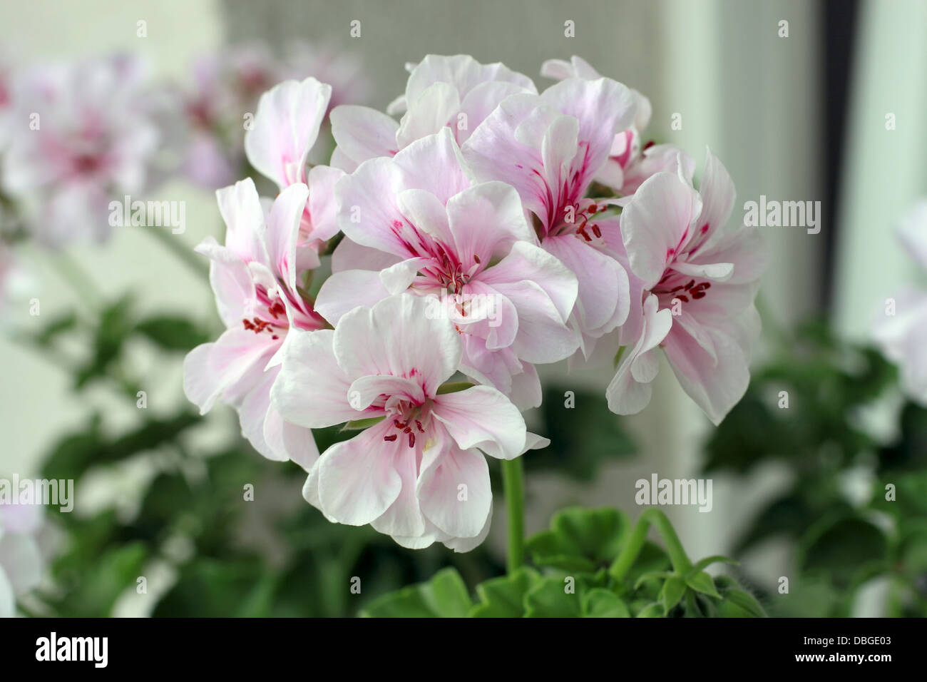 Pelargonium graveolens are flowering plants that include about 200 species, also known as geraniaceae. - Stock Image