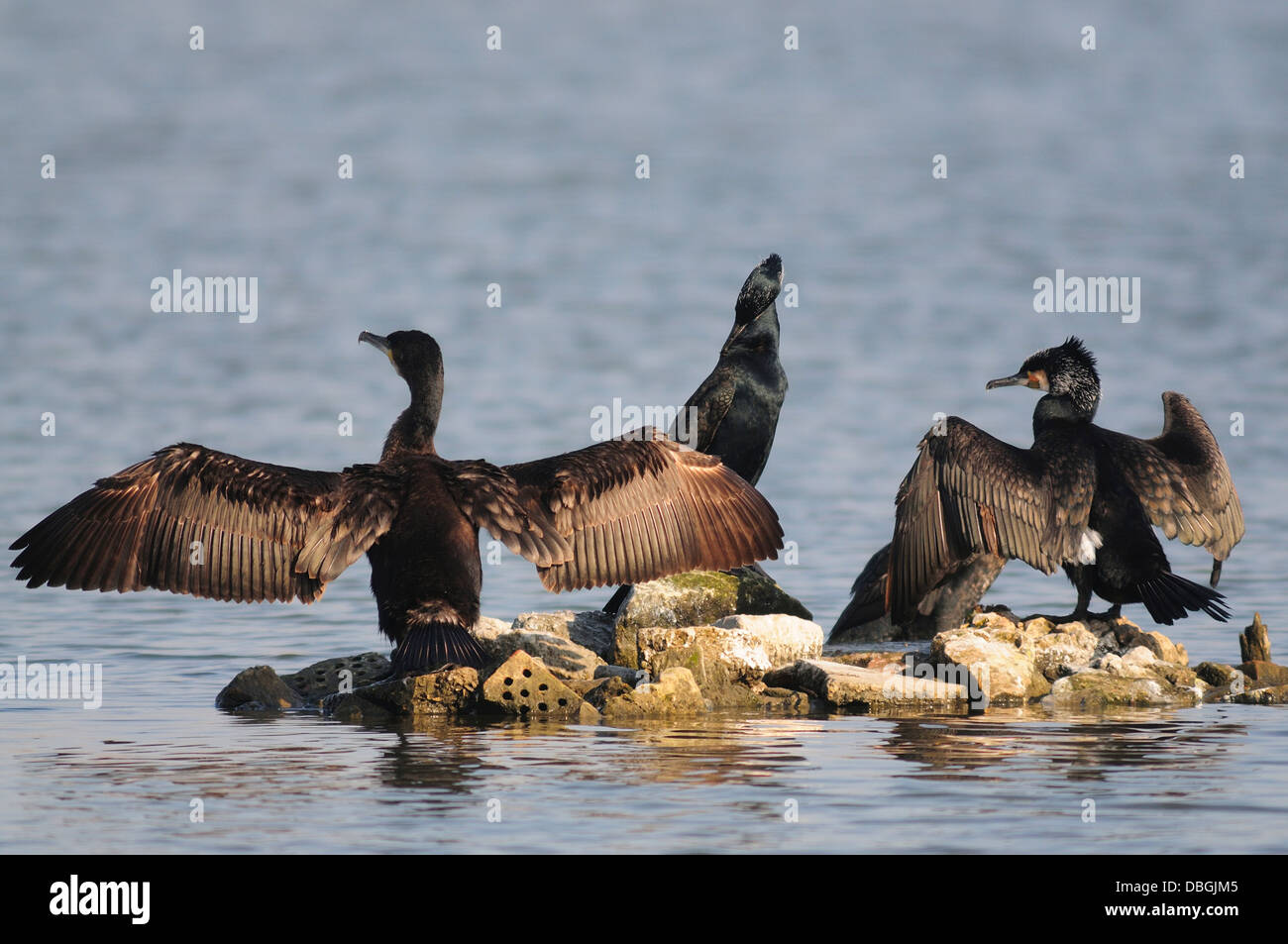 A gulp of cormorants on a rocky island drying their wings - Stock Image