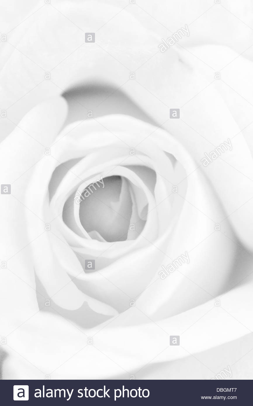 Art, Rose detail. Macro. - Stock Image