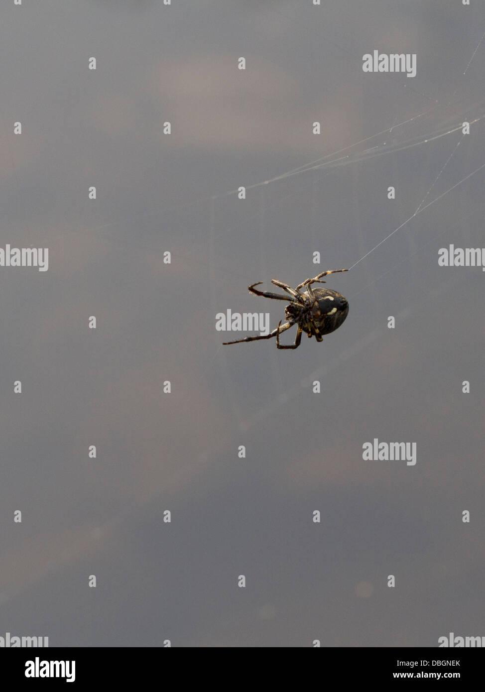 Walnut Orb Weaver Spider repairing web - Stock Image