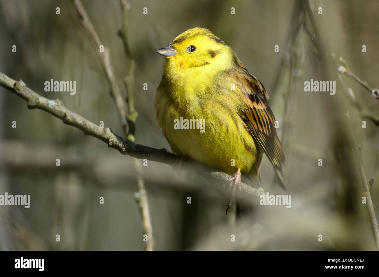 A yellowhammer in a tree UK - Stock Image