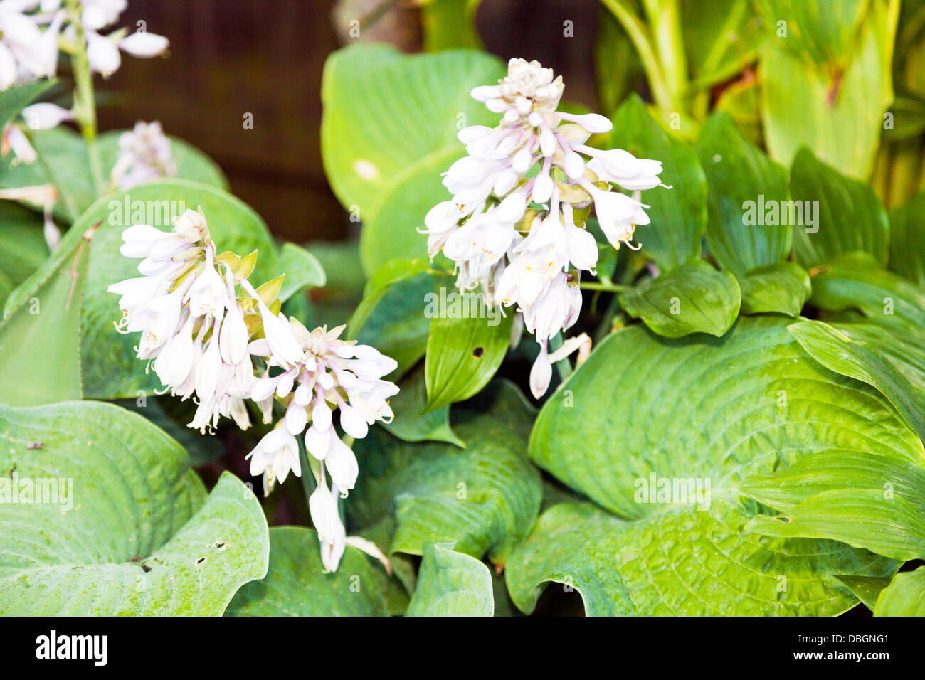 Typical English Garden Plants Flowers Close Detail Of Hosta Plant