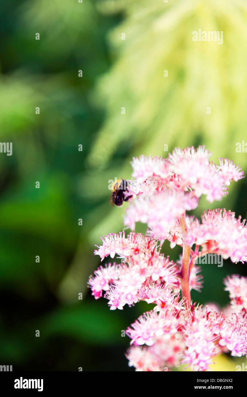 Typical English garden plants flowers Flower of a Rodgersia  rhizomatous herbaceous perennials pollinated by bee - Stock Image