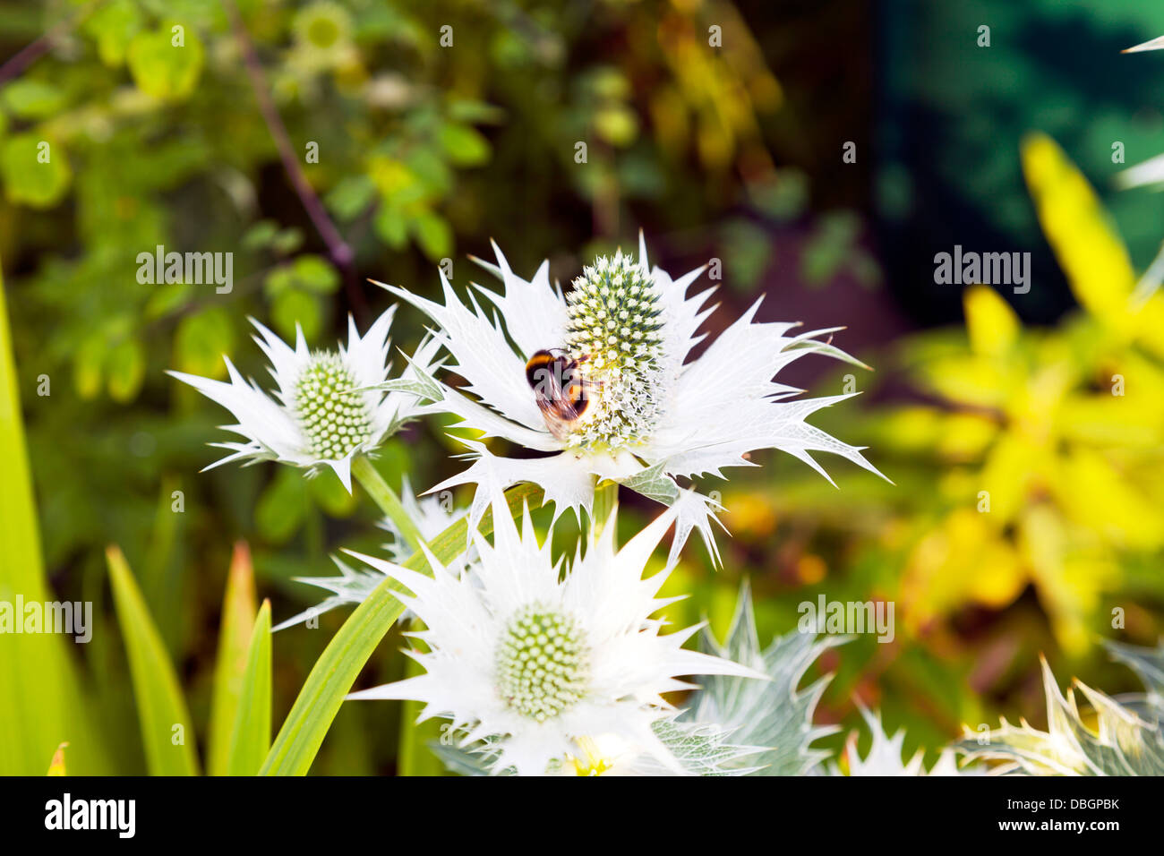 Typical English garden plants flowers Eryngium giganteum   Miss Wilmott's Ghost or Giant Sea Holly pollinated - Stock Image