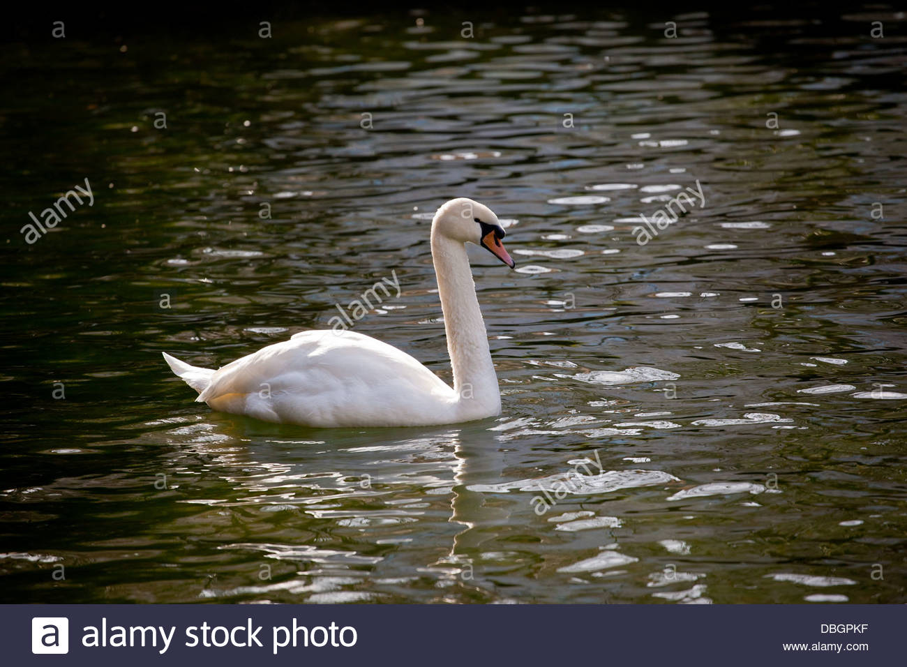 Lonely swan swimming. - Stock Image