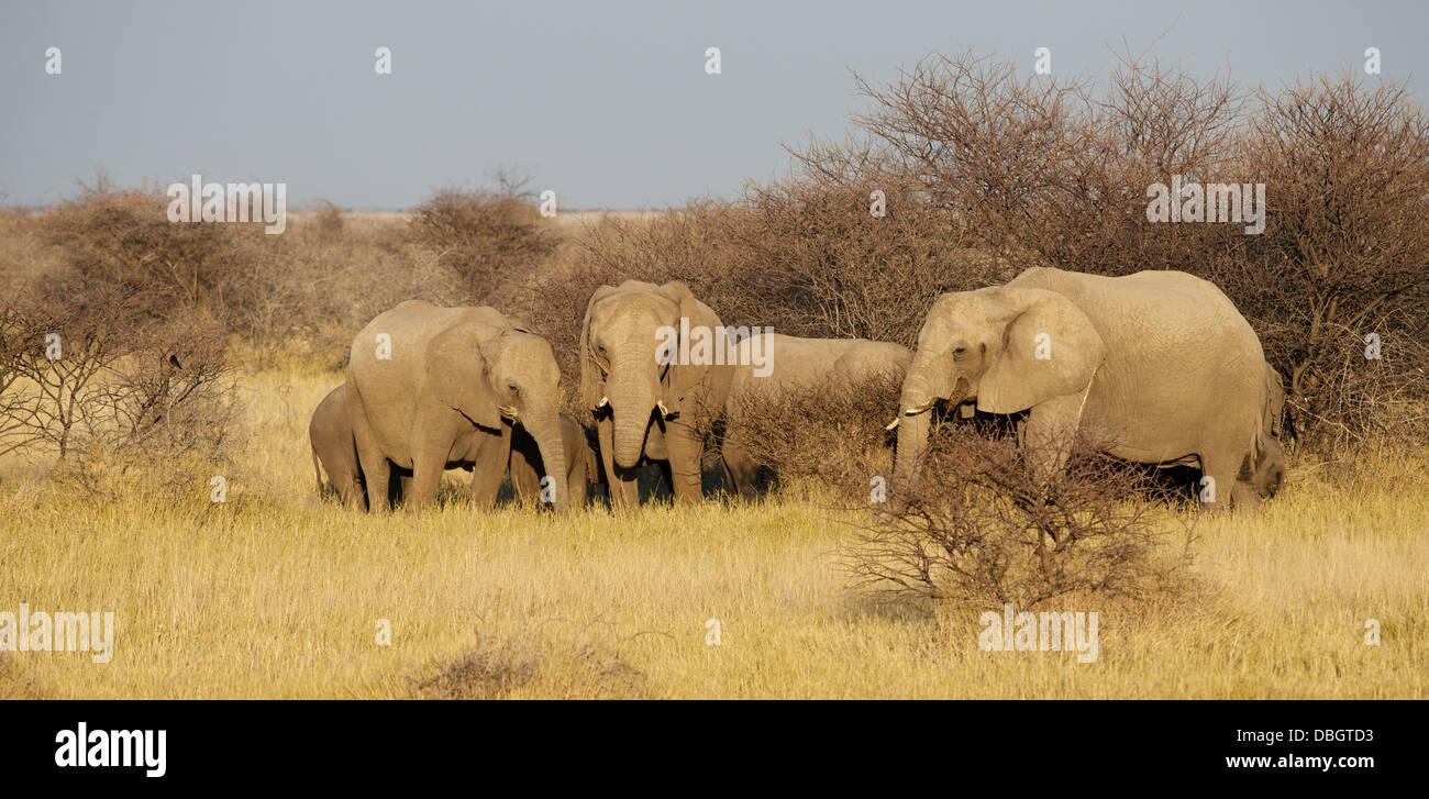 Herd of Africa Elephants Etosha National Park Namibia Africa - Stock Image
