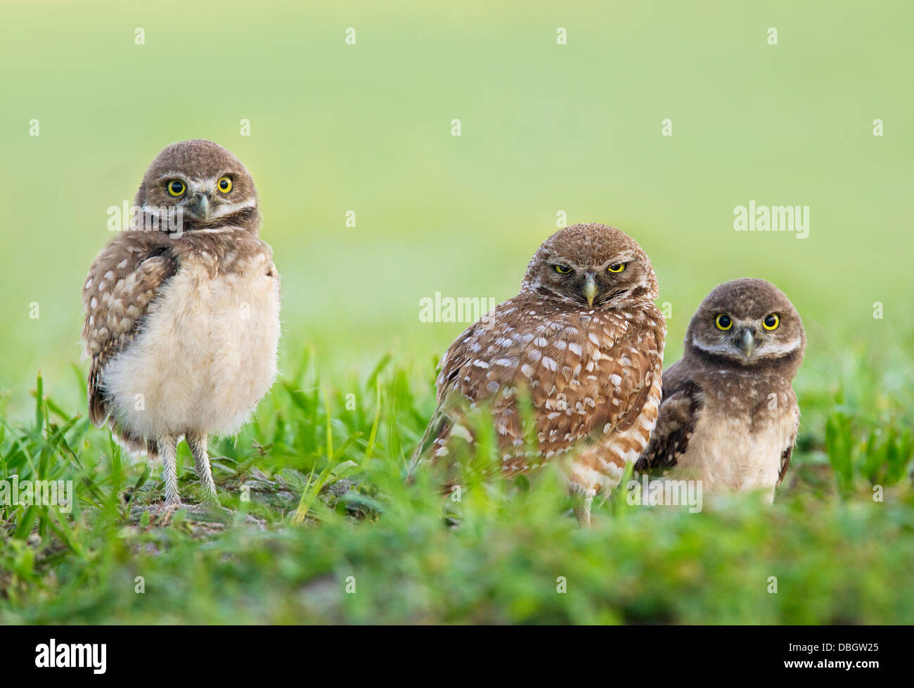 BURROWING OWL (Athene cunicularia) two young outside burrow with parent in centre, Cape Coral, Florida, USA. - Stock Image