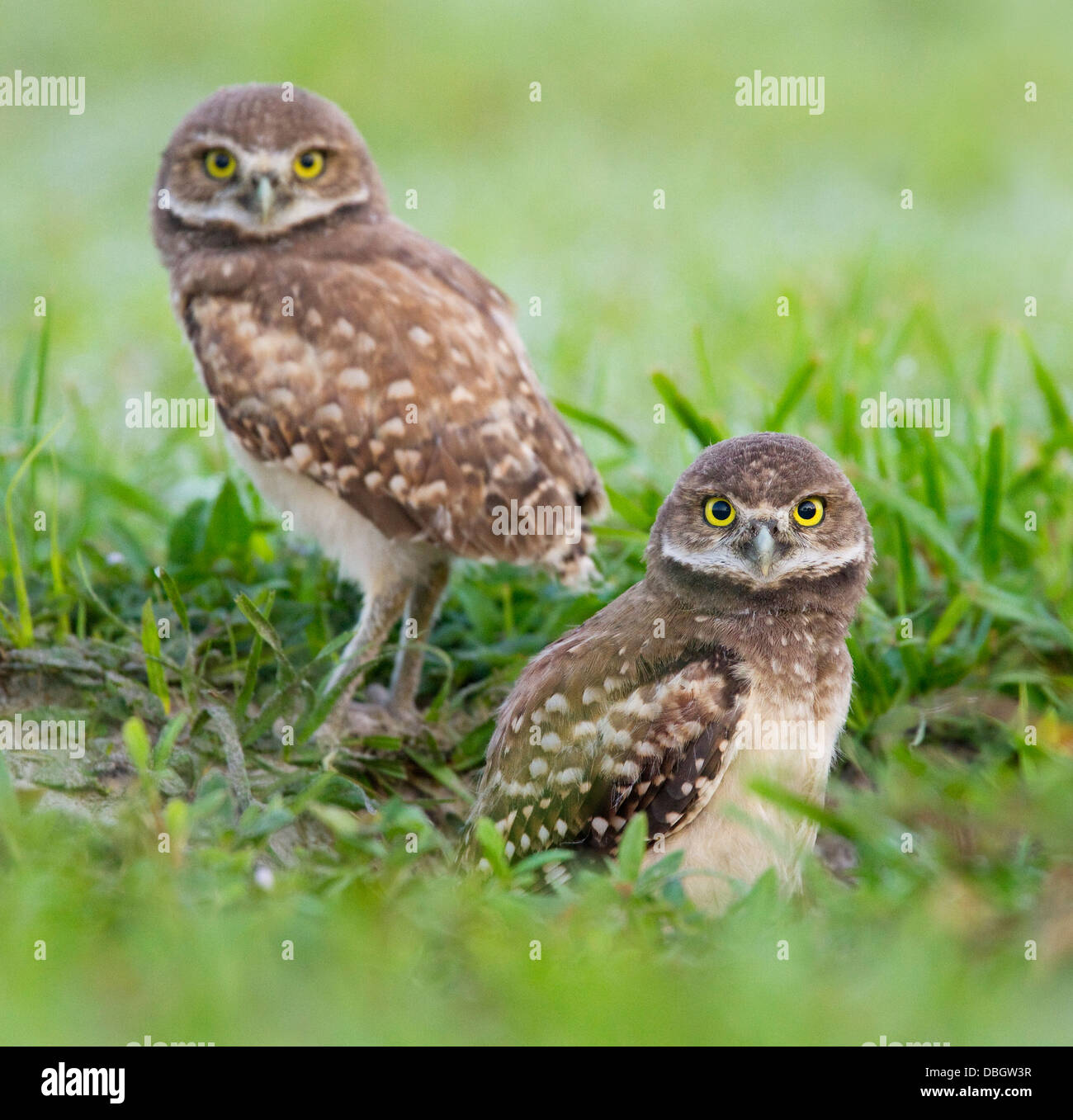 BURROWING OWL (Athene cunicularia) two young outside burrow, Cape Coral, Florida, USA. - Stock Image