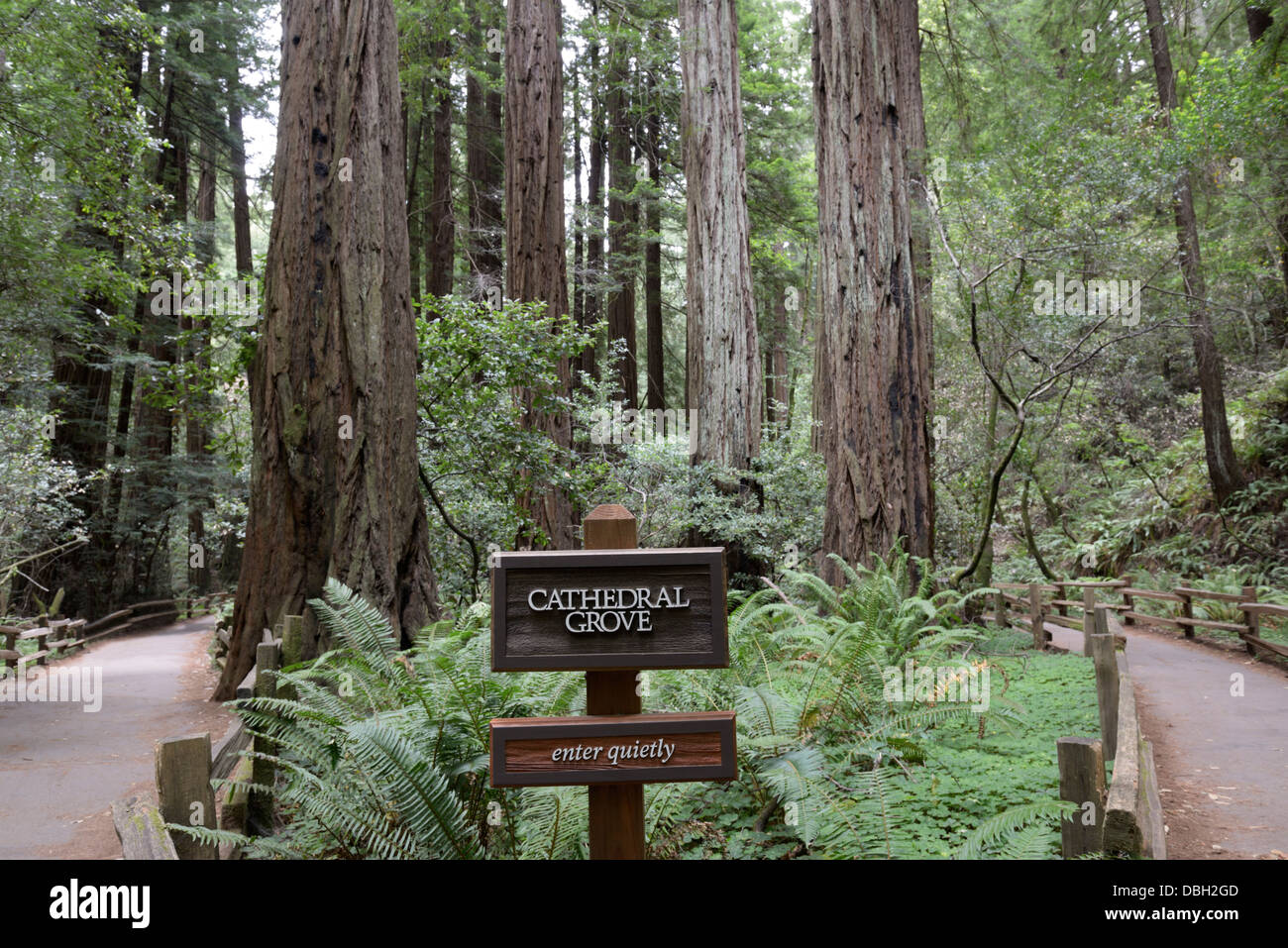 Trail through the Cathedral Grove of Coast Redwoods, Sequoia sempervirens, Muir Woods National Monument - Stock Image