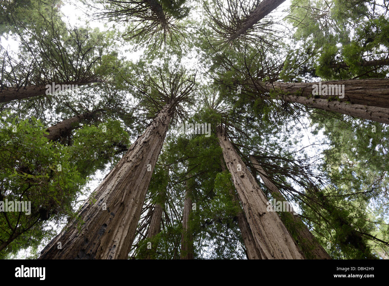 Coast Redwood grove, Sequoia sempervirens, from below, Muir Woods, northern CA - Stock Image