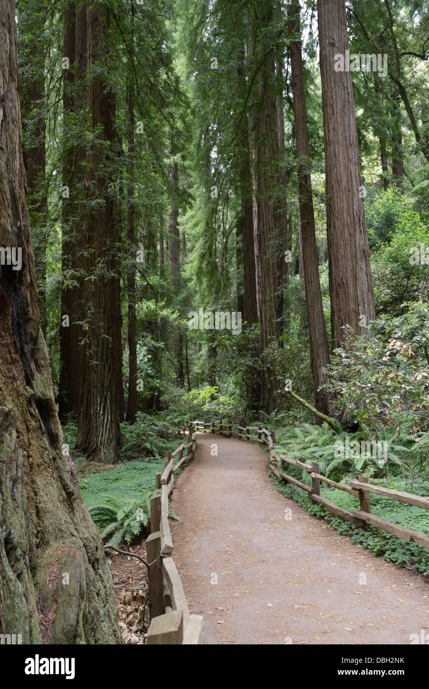 Trail through forest of Coast Redwoods, Sequoia sempervirens, Muir Woods National Monument - Stock Image
