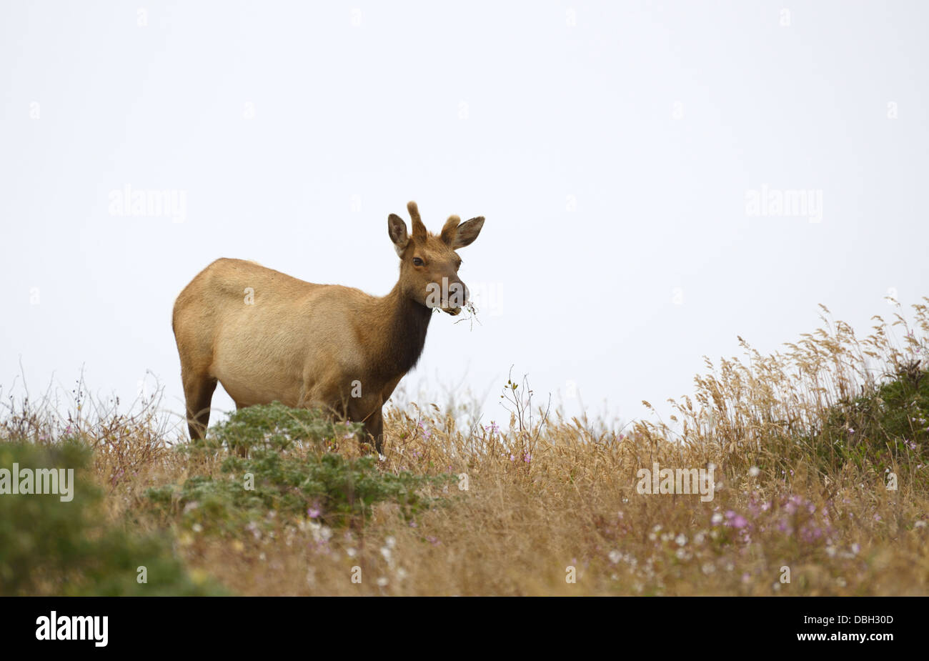 Tule elk, Cervis canadensis nannodes, Tomales Point, Point Reyes National Seashore - Stock Image