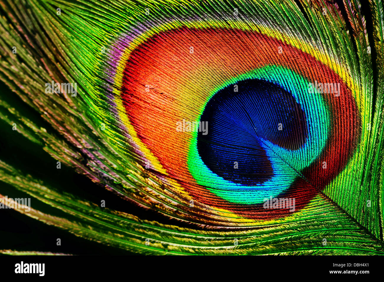 Peacock Feather - Stock Image