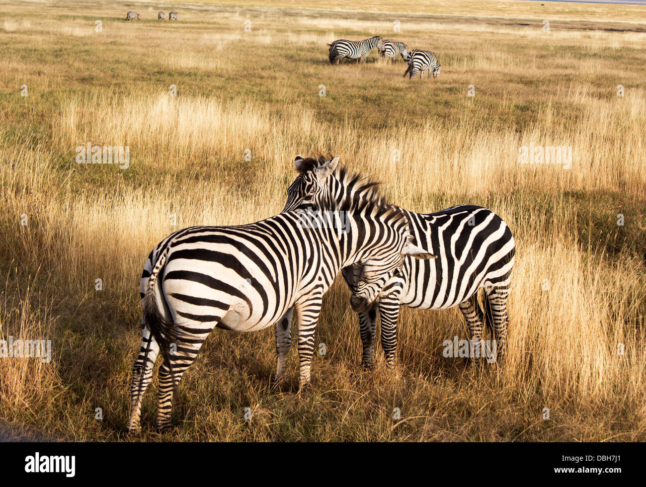 Zebras face to face in the early morning in Tarangire National Park, Tanzania, Africa - Stock Image